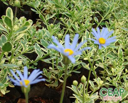 Фелиция цветы выращивание 20